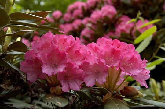 Rhododendron 20 photos du jardin botanique de thoiry for Jardin 5 thoiry