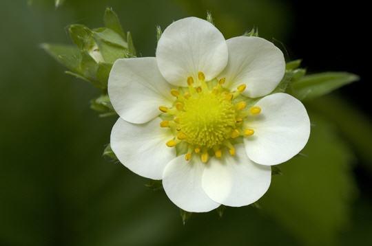 fleur de fraisier   14 photos du livre  u0026quot amours de fleurs u0026quot  par muriel hazan