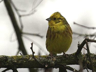 Les oiseaux des parcs et jardins bruant jaune for Oiseau jaune france