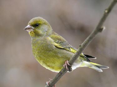 Les oiseaux des parcs et jardins verdier d 39 europe for Oiseau jaune france