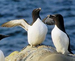 """Résultat de recherche d'images pour """"pingouin torda en vol"""""""