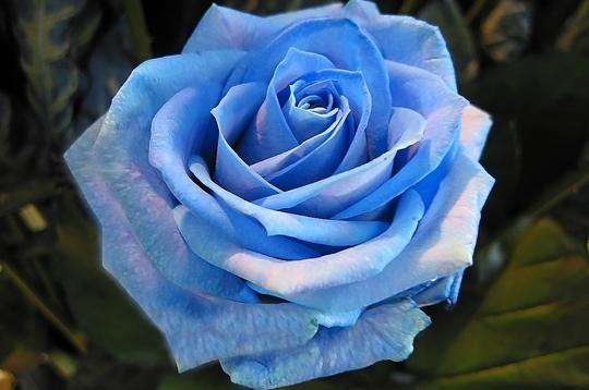 Belle Image Rose Bleu rose bleue ! - les plus belles roses de la galerie sur l'internaute