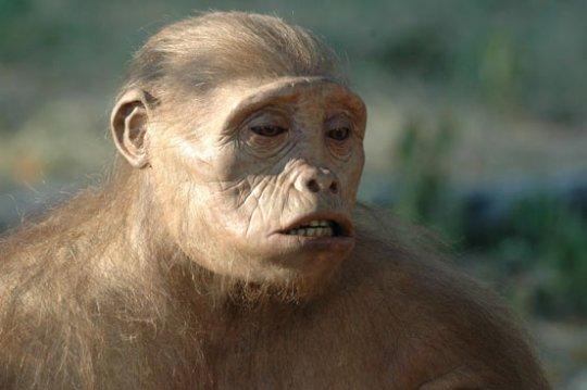 Contrairement à mon cousin australaupithèque, j'ai un épais