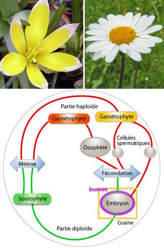 Sexualite Vegetale Fleur Organe Sexuel