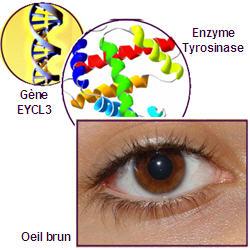 yeux bleus hérédité