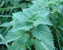 Pourquoi les orties piquent for Plante urticante