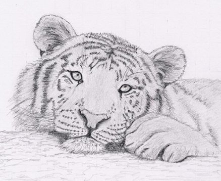 Dessin de t te de tigre - Image dessin tigre ...